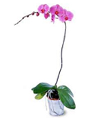 USA Flower USA Florist  USA  Flowers shop USA flower delivery online  ,:The FTD?Lavender Phalaenopsis Orchid