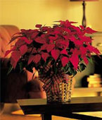 USA Flower USA Florist  USA  Flowers shop USA flower delivery online  ,:Large Red Poinsettia