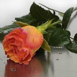 New Zealand Flower New Zealand Florist  New Zealand  Flowers shop New Zealand flower delivery online  :Boxed Melva Orange Roses