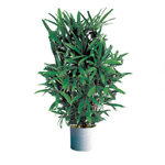 S.Korea Plants (air purification) S.Korea,,S.Korea:Rhapis