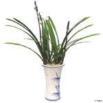 S.Korea Oriental Orchid S.Korea,,S.Korea:Daemyungbose