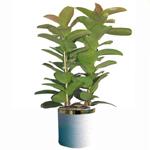 S.Korea Plants S.Korea,,S.Korea:Ficus elastica
