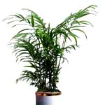 S.Korea Plants S.Korea,,S.Korea:Areca a palm