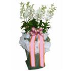 S.Korea Western Orchid S.Korea,,S.Korea:Dendrobium Phalaenopsis