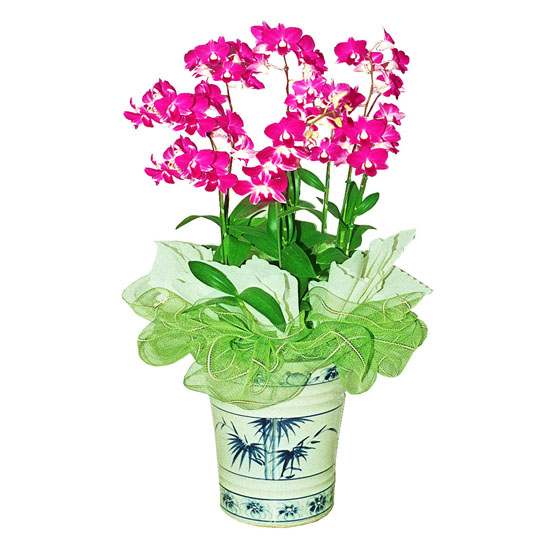Livraison Fleurs Corée du Sud fleuriste Corée du Sud,fleurs de Corée du Sud Livraison fleurs Corée du Sud:LocalStreets:Dendrobium Phalaenopsis