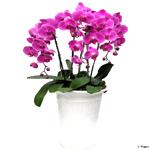 S.Korea Western Orchid S.Korea,,S.Korea:Moth orchid(pink)
