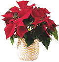 Turkey Flower Turkey Florist  Turkey  Flowers shop Turkey flower delivery online  :Saloon plant- ponseptia