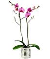 Livraison Fleurs Turquie fleuriste Turquie,fleurs de Turquie Livraison fleurs Turquie:LocalStreets:Phalaenopsis Orchid