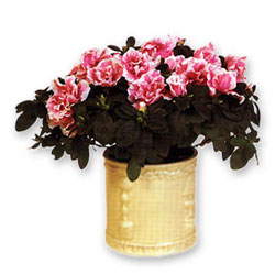 Ukraine Flower Ukraine Florist  Ukraine  Flowers shop Ukraine flower delivery online  :Azalea in a Planter