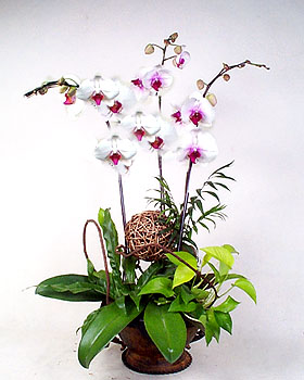 China Congratulation China,,China:butterfly orchids¡¡