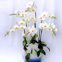 China Flower China Florist  China  Flowers shop China flower delivery online  ,China:Butterfly orchids