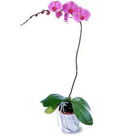 Antigua and Barbuda Flowers Antigua and Barbuda flower Antigua and Barbuda florists :Phalaenopsis Lavender