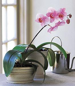 Lavender Fresh Orchid