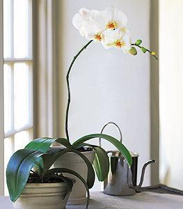 White Beauty Orchid