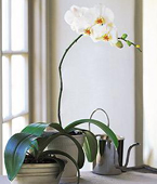Cayman Islands Orchid Cayman Islands,:White Beauty Orchid