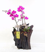 Taiwan Potted Orchids Taiwan,:Vintage Excellence