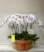 Taiwan Potted Orchids Taiwan,:Luxurious Beauty