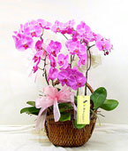 Taiwan Potted Orchids Taiwan,:Gifted