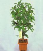 Taiwan Plant Taiwan,:Leafy Plant