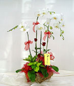 Taiwan Potted Orchids Taiwan,:Exorbitance