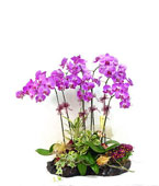 Taiwan Potted Orchids Taiwan,:Purple Royale