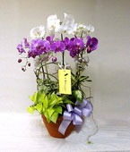 Taiwan Potted Orchids Taiwan,:Divine Diffusion
