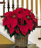 Canada Flower Canada Florist  Canada  Flowers shop Canada flower delivery online  ,:6'' Red Poinsettia