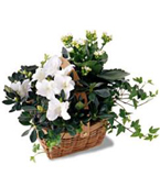 Canada Flower Canada Florist  Canada  Flowers shop Canada flower delivery online  ,:The FTD?White Assortment Basket