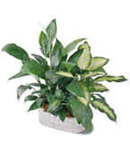 Montreal Plants Montreal,Québec,:The FTD® Spathiphyllum and Dieffenbachia