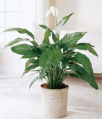 Montreal Plants Montreal,Québec,:The FTD® Spathiphyllum