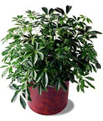 Montreal Plants Montreal,Québec,:The FTD® Schefflera Arboricola