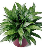 Montreal Plants Montreal,Québec,:The FTD?Chinese Evergreen