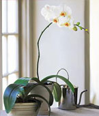 Montreal Best Sellers Montreal,Québec,:White Phalaenopsis Orchid